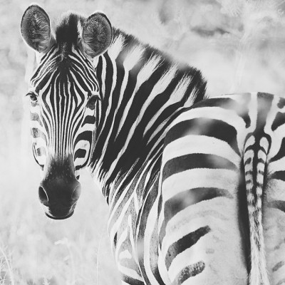 Zebra in Black and White. Taken with my Olympus em1 mirrorless camera while on safari in South Africa. .