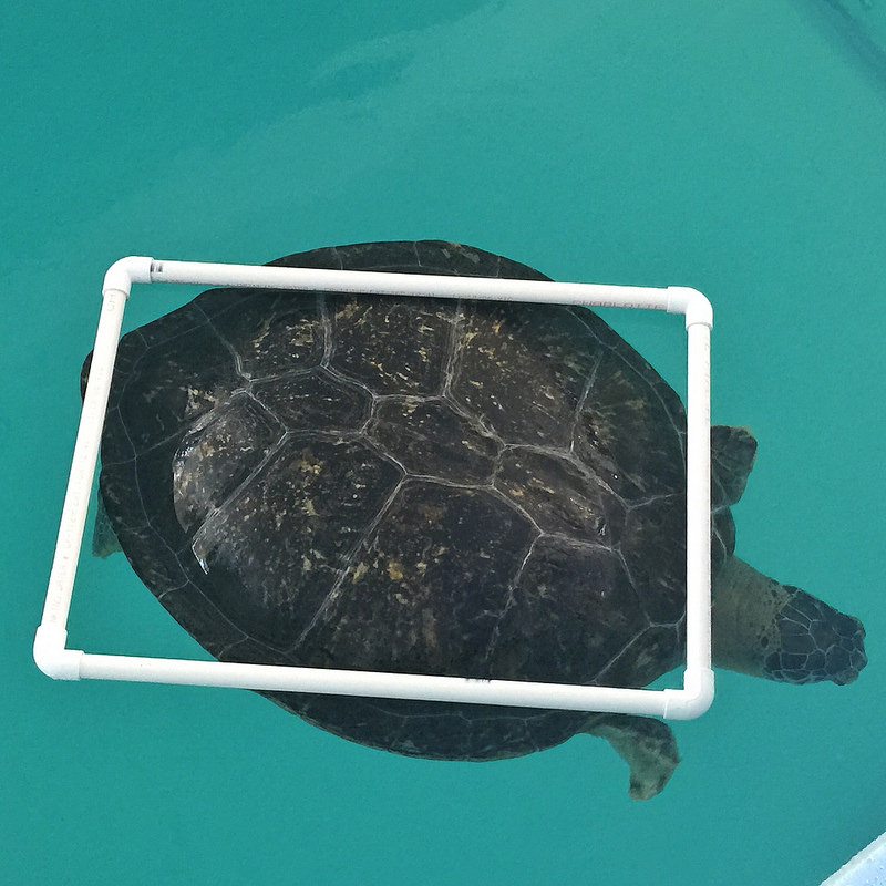 I believe this is Stubby, a green sea turtle with a buoyancy disorder.