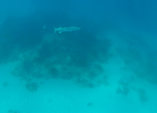 Great Barracuda at Looe Key reef
