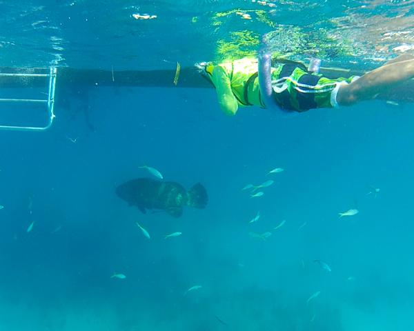 Goliath Grouper at Looe Key reef