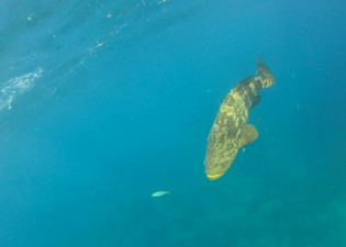 Goliath Grouper Looe Key reef
