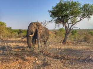 elephant in greater kruger park