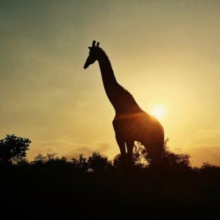 iPhone travel photography, wanderingiphone, mobile photography workshops, giraffe, silhouette, wildlife