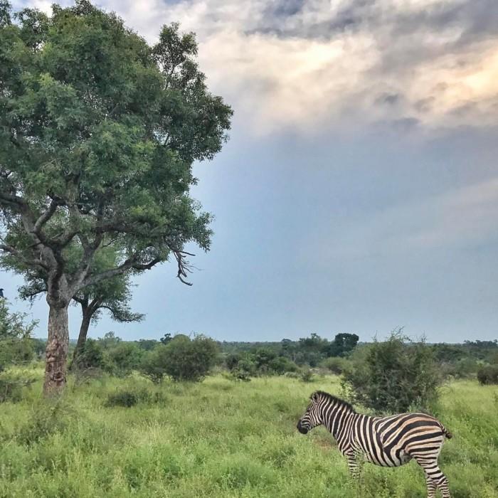 zebra in Kruger