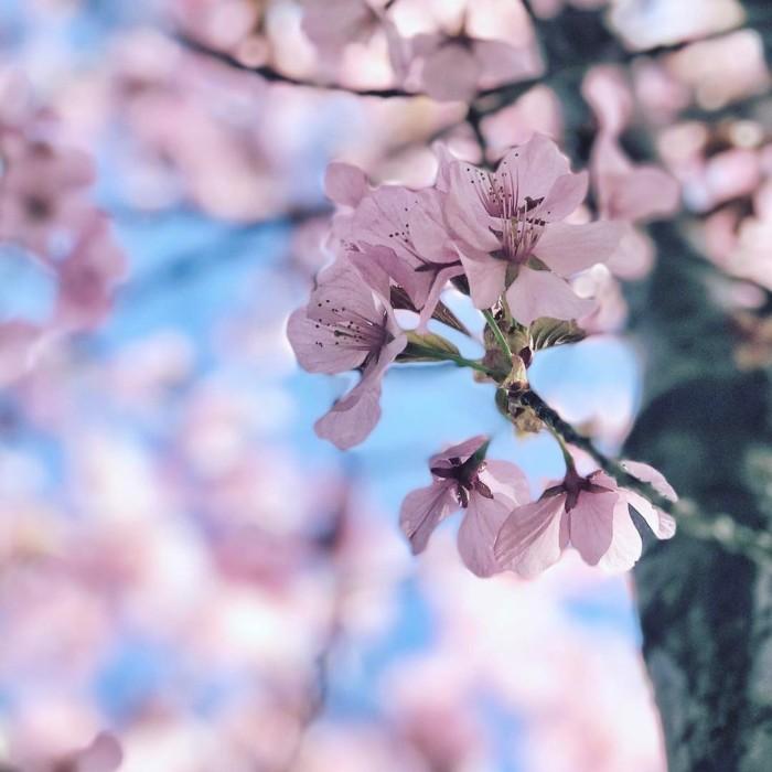 cherry blossoms canada
