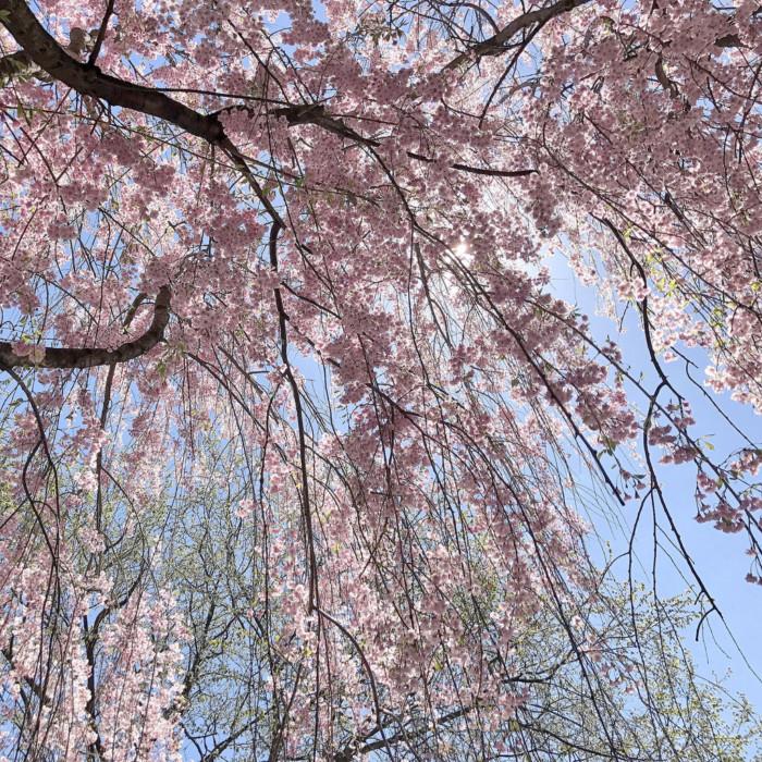 cherry blossoms Kariya Park Mississauga