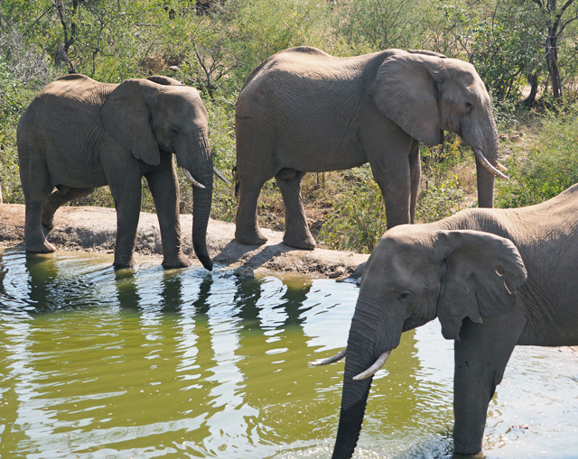 3 African elephants at a waterhole