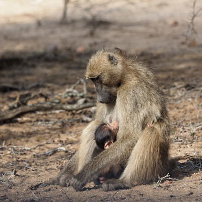 Mother's Day, Mom and baby baboon