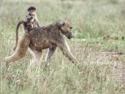 mothers day mom baboon carrying its baby