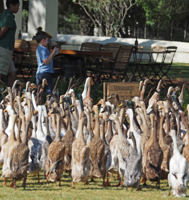 My son and the Vergenoegd Runner Ducks