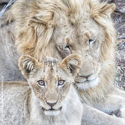 fathers day lion and cub