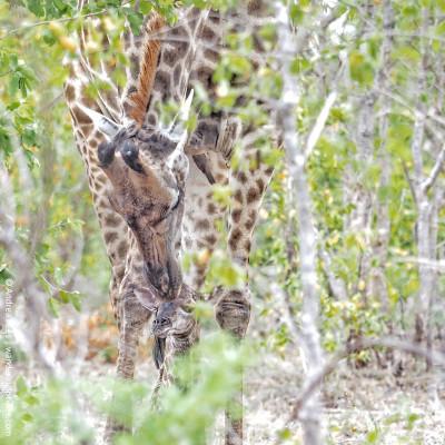 mother's day newborn giraffe and mom