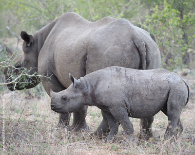 mothers day black rhino and baby