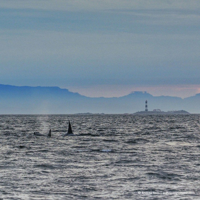 Two orcas in the water near British Columbia with Race Rock in the background.