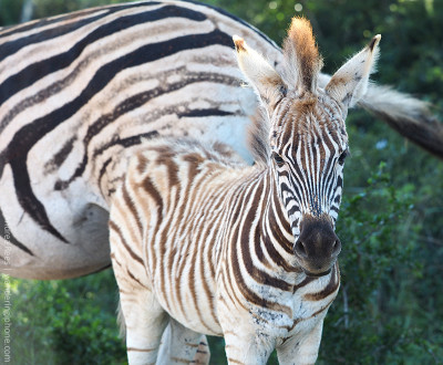 mother's day baby zebra